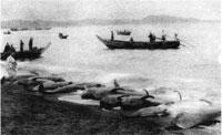 91.館山海岸に揚がった鯨(明治末~大正前半)