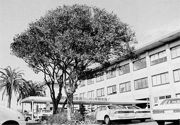 館山市役所の夏みかんの木