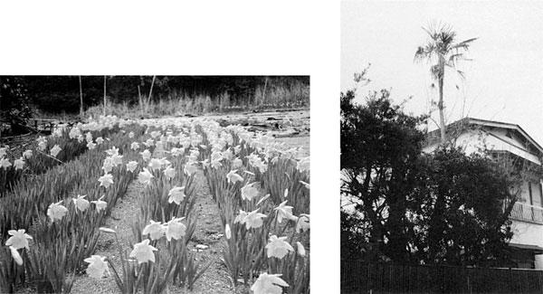 左:神戸地区の水仙 右:通房がくれたシュロの木 <六軒町石井家>