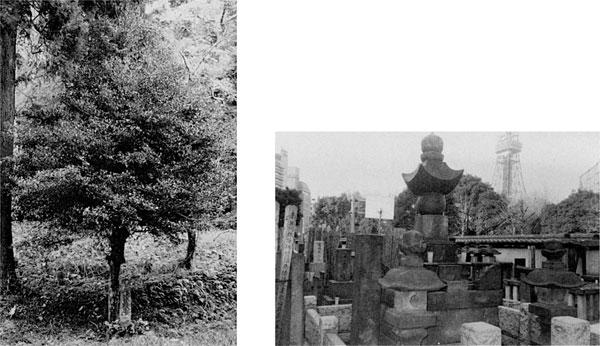 左:111.通房植樹のモッコクの木 <作名諏訪神社>(明治44年) 右:妙定院の万里小路家墓所(東京都港区)
